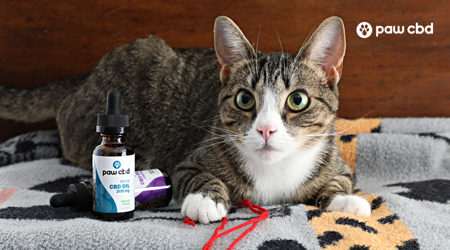 A black and white cat sits near some cat toys with a bottle of cbd tincture for cats from paw cbd