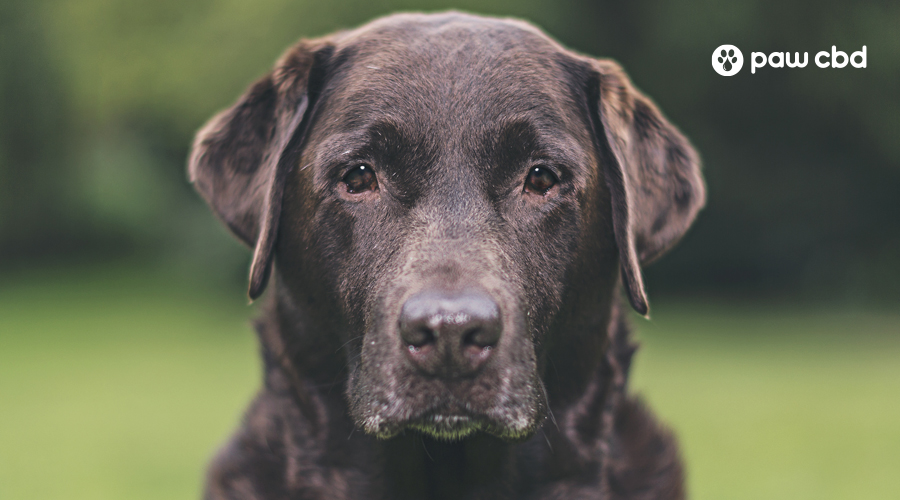 An older brown lab looks straight ahead at the camera